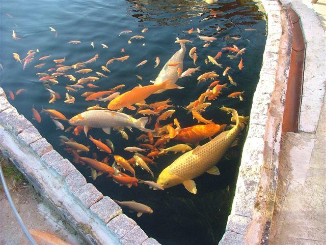 Lothargehlhaar teichbauforum thema anzeigen marc for Was fressen fische im teich